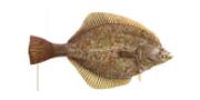 Γλώσσα Ψάρι | Lovefish