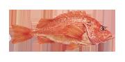 Κοκκινόψαρο | Lovefish