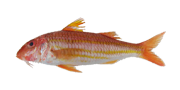 Μπαρμπούνι | Lovefish