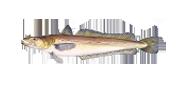 Βακαλάος | Lovefish
